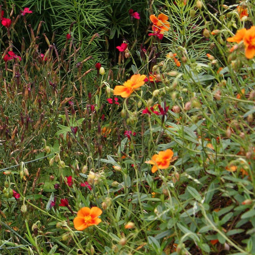 Variétés a fleurs orangées 'Ben Adler'