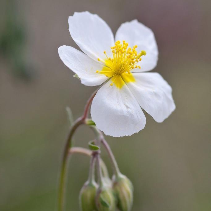 Variétés a fleurs blanches Hélianthème des Apennins (Helianthemum apenninum)