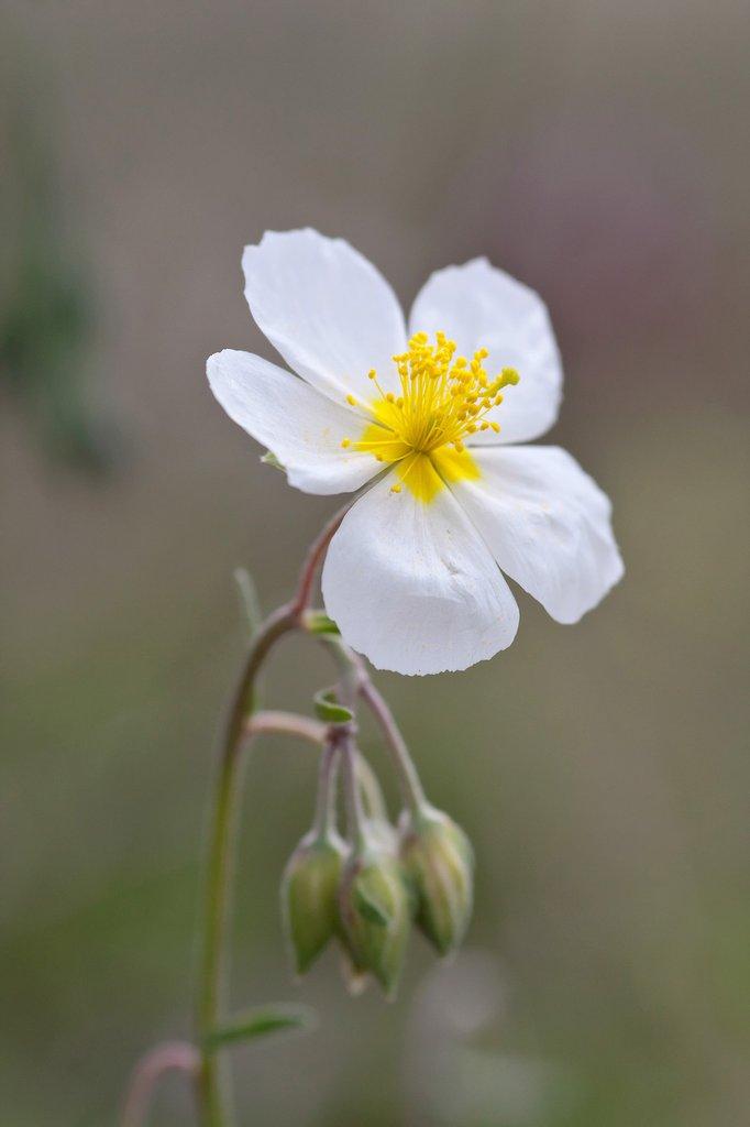 plante aquatique a fleurs blanches en 5 lettres