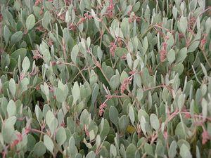 Plantation de l'obione