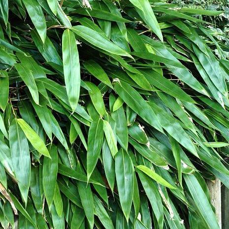 Sasa tesselatta (= Indocalamus tesselatus = Arundinaria ragamowski) --