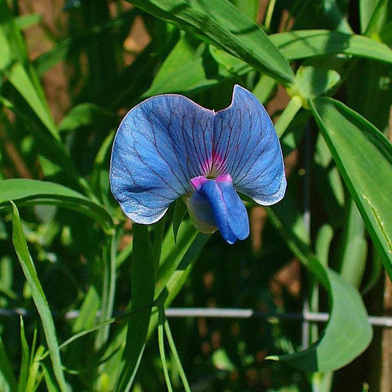 Lathyrus sativus (Gesse commune, pois carré ou lentille d'Espagne) Espèce type