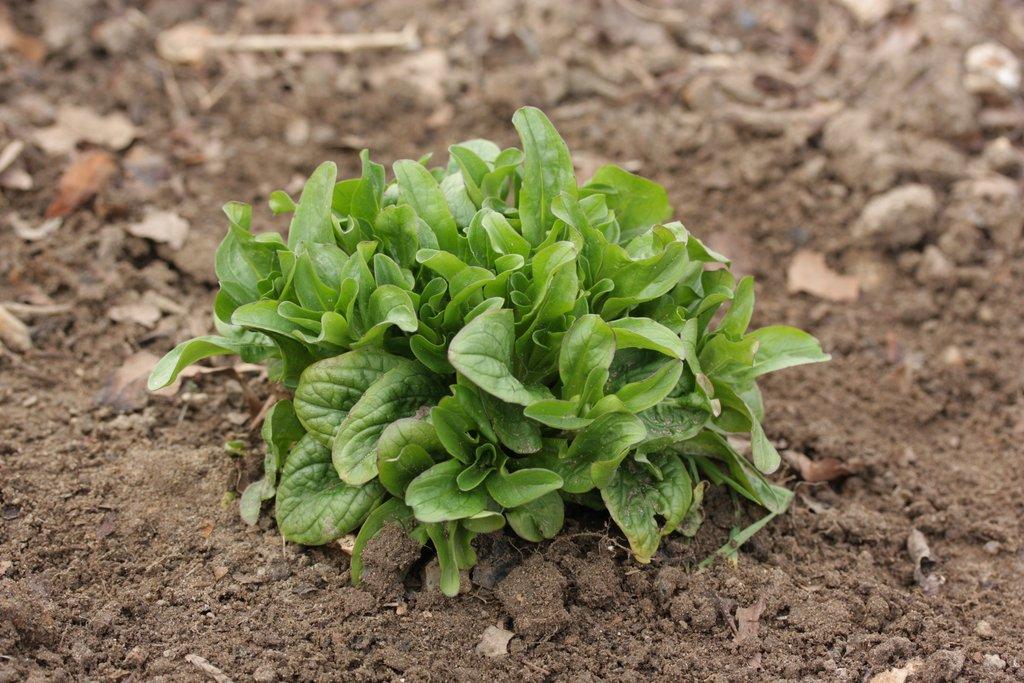 M che semer et planter ooreka for Entretien salade jardin