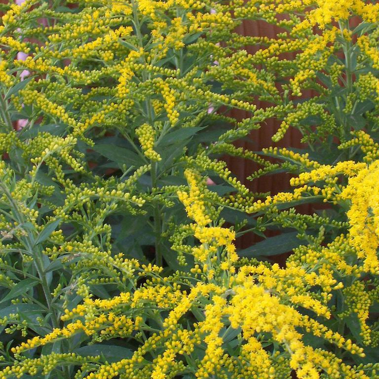 Espèces botaniques Solidage du Canada (Solidago canadensis)