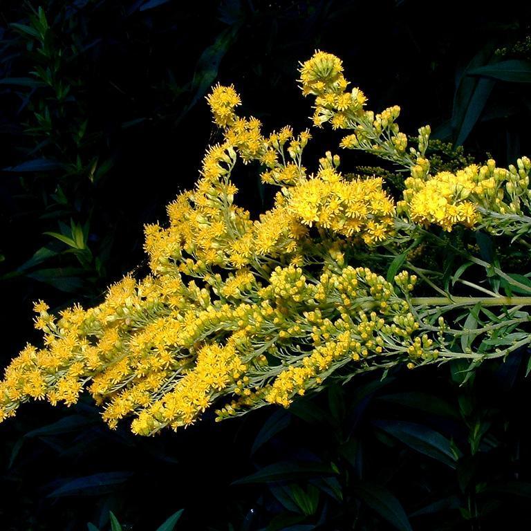 Espèces botaniques Verge d'or (Solidago virgaurea)