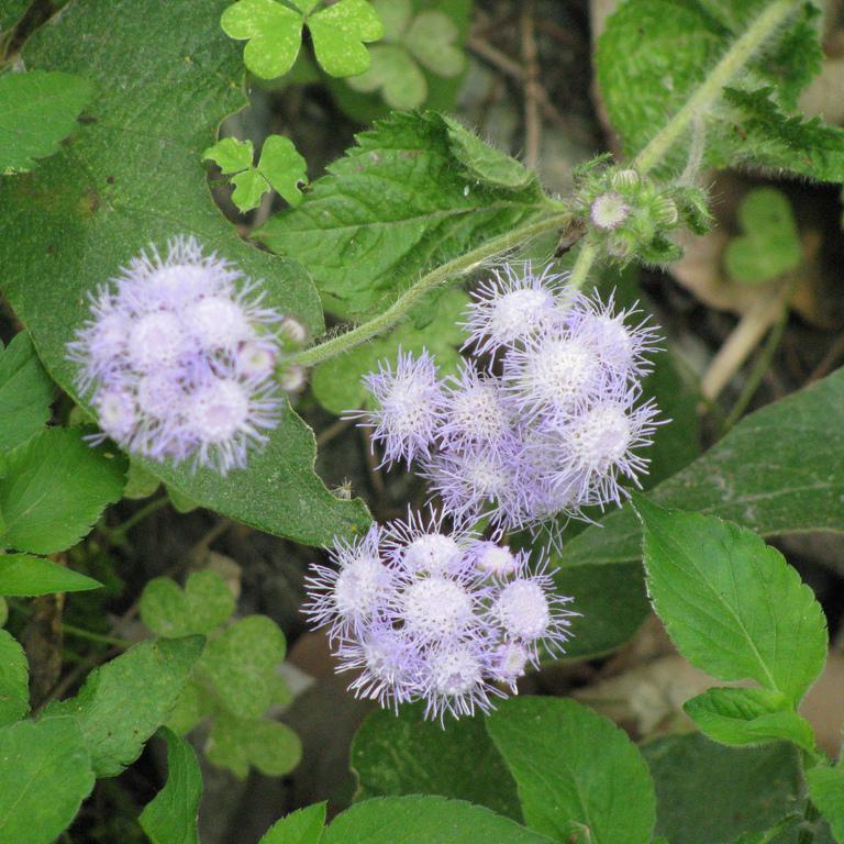 Ageratum mexicanum (syn. houstonianum) 'Blue Mink'