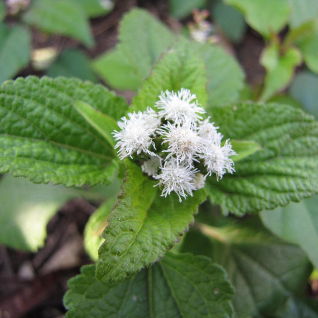 Ageratum mexicanum (syn. houstonianum) 'Bouquet blanc'