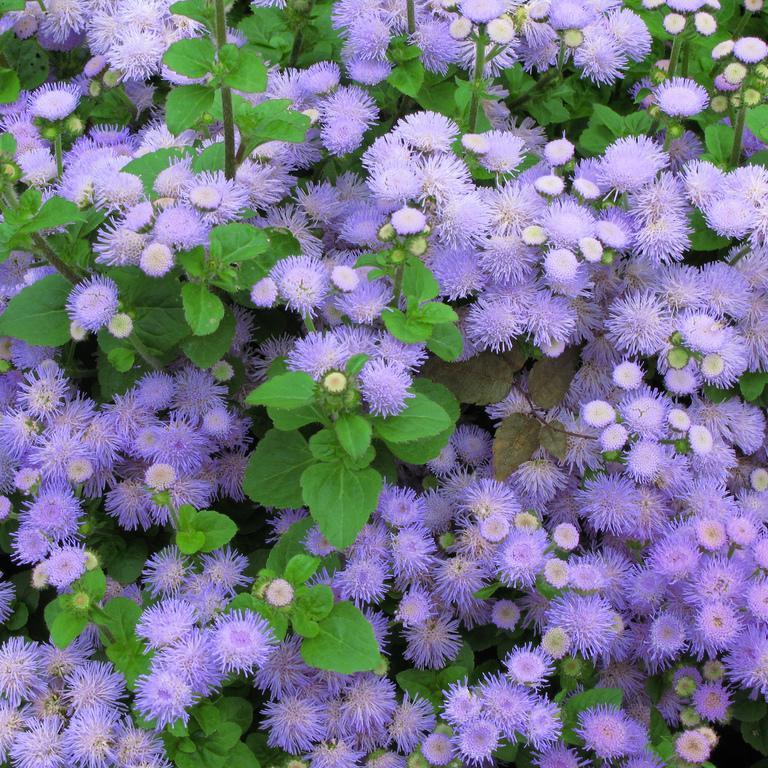 Ageratum mexicanum (syn. houstonianum) 'Danube Bleu'