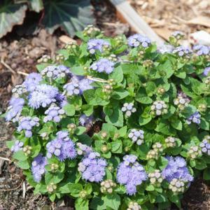 Ageratum mexicanum (syn. houstonianum) 'Hawaï Blue'