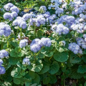 Ageratum mexicanum (syn. houstonianum) 'Bavaria'