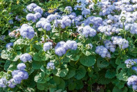 Ageratum planter et entretenir ooreka - Quelle terre pour hortensia ...