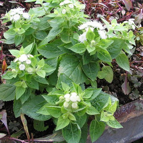 Ageratum mexicanum (syn. houstonianum) 'White Hawaï'