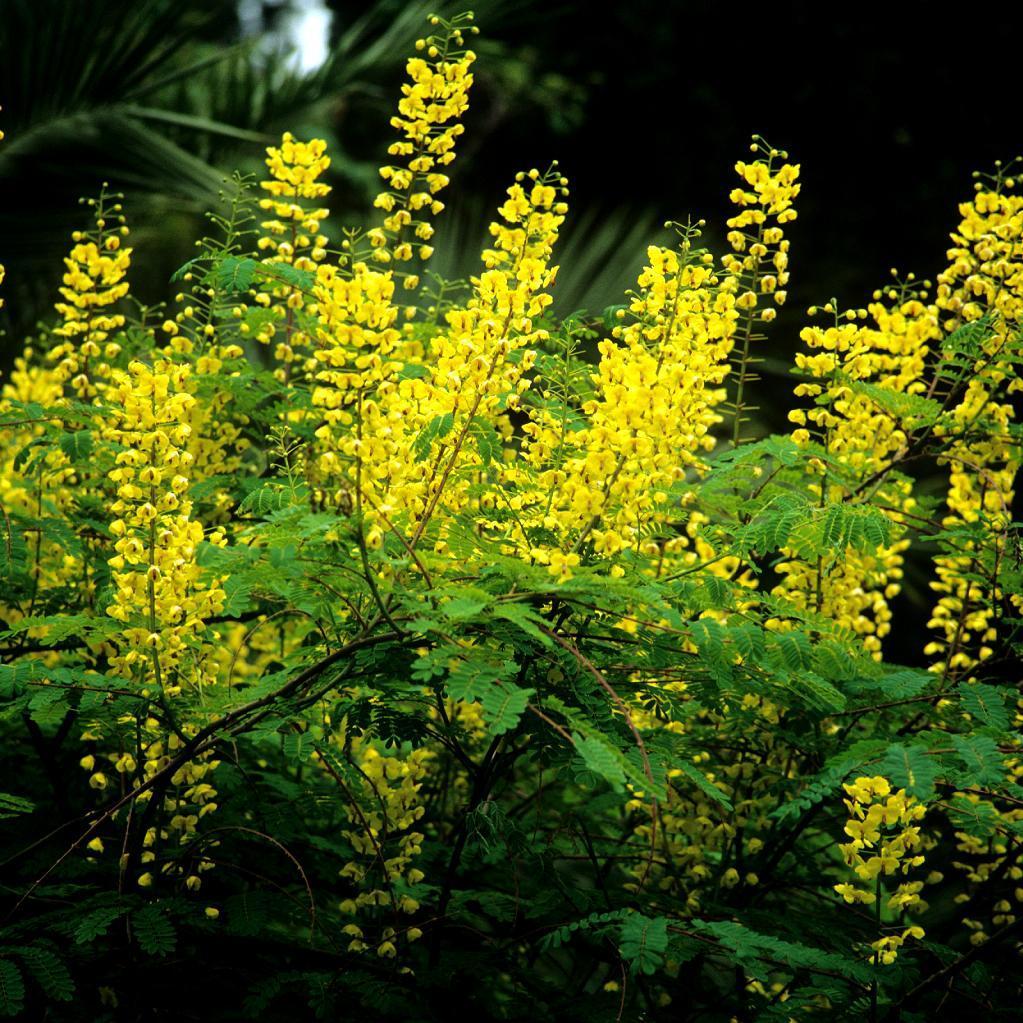 Plante peu répandue Caesalpinia decapetala (syn. C. japonica, C. decapetala var. japonica, C. sepiaria)