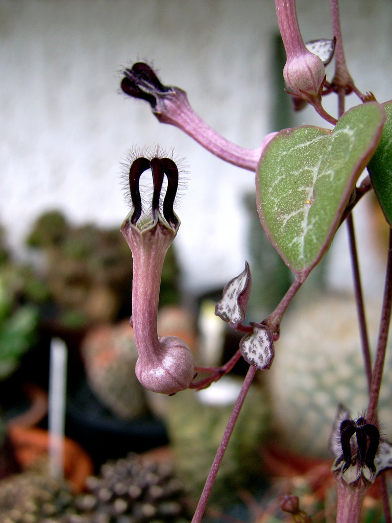 Ceropegia : planter et cultiver - Ooreka