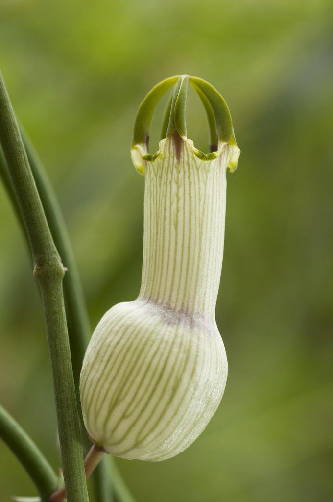 ceropegia   planter et cultiver  u2013 ooreka