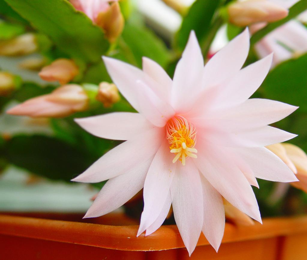 Epiphyllum planter et cultiver ooreka for Santa teresita planta