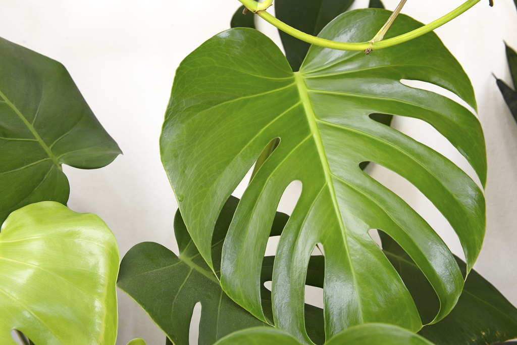 Monstera Planter Et Entretenir Ooreka