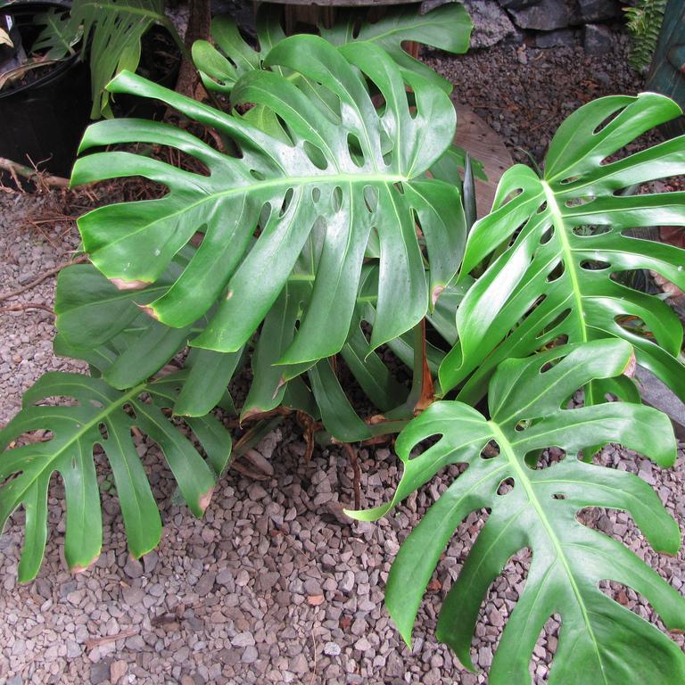 Monstère, faux philodendron (Monstera deliciosa, syn. M. d. var borsigiana, Philodendron pertusum) Espèce type