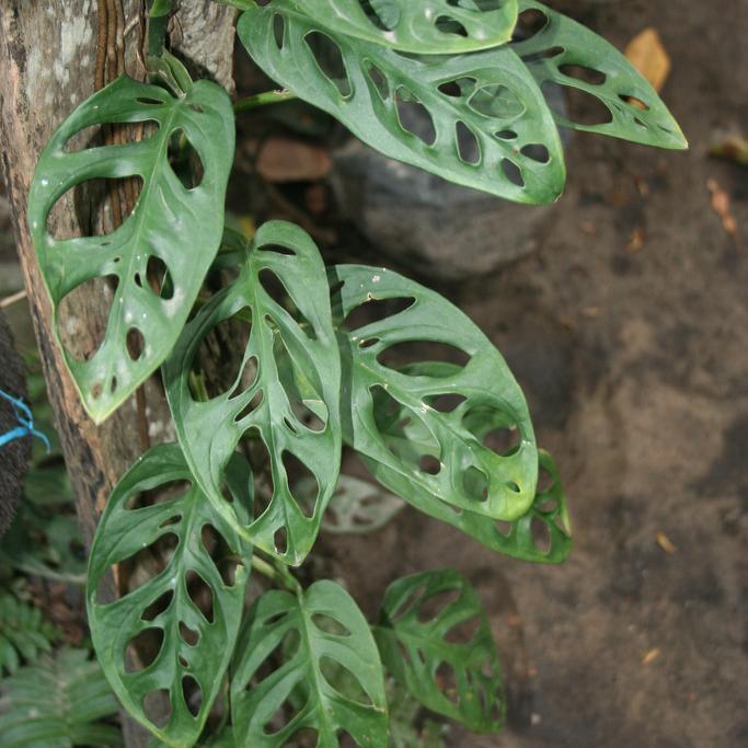 Monstera adansonii (syn. Philodendron pertusum) Espèce type