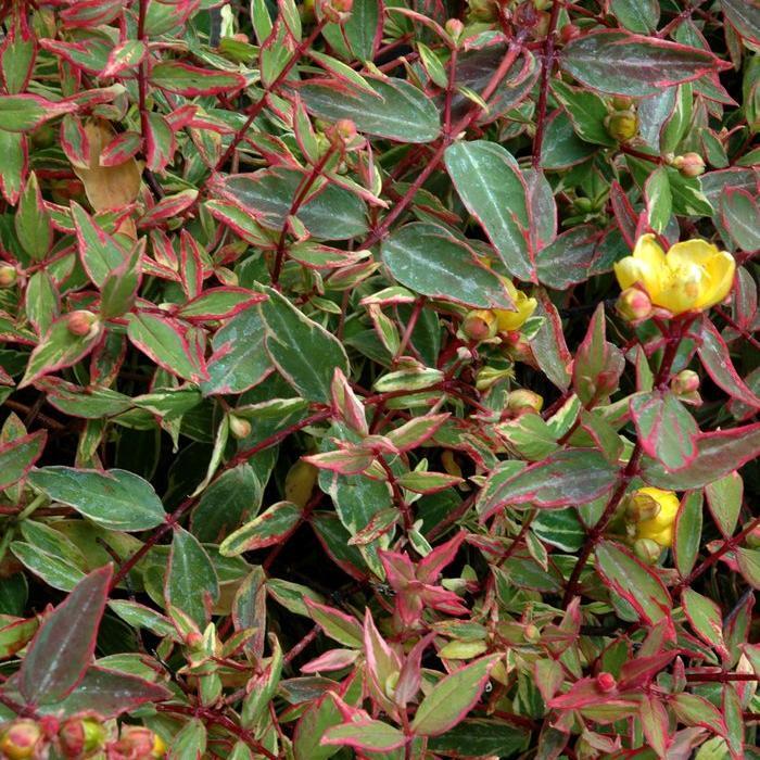 Espèces de taille moyenne Hypericum x moserianum 'Tricolor'