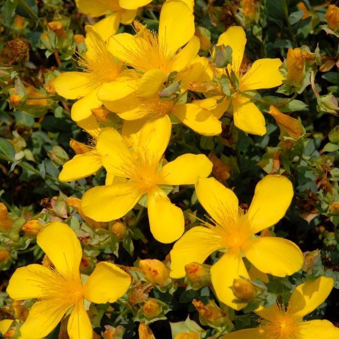 Espèces naines Hypericum olympicum f. uniflorum