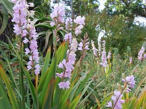 Plantation du <em>Watsonia</em>