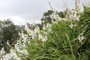 Multiplication du <em>Watsonia</em>