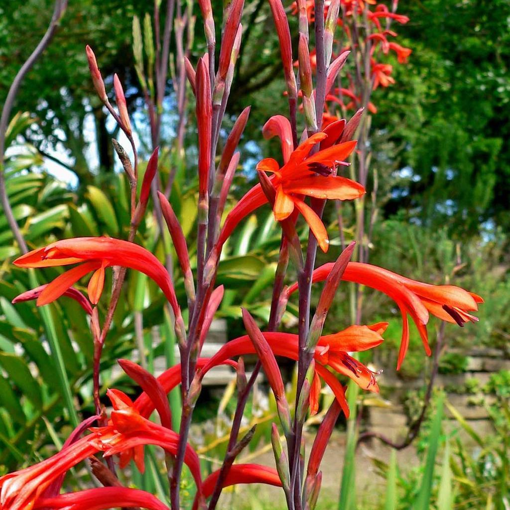 Watsonia meriana Espèce type