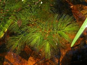 Plantation de <em>Ceratophyllum demersum</em>