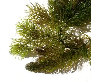 Culture et entretien de <em>Ceratophyllum demersum</em>