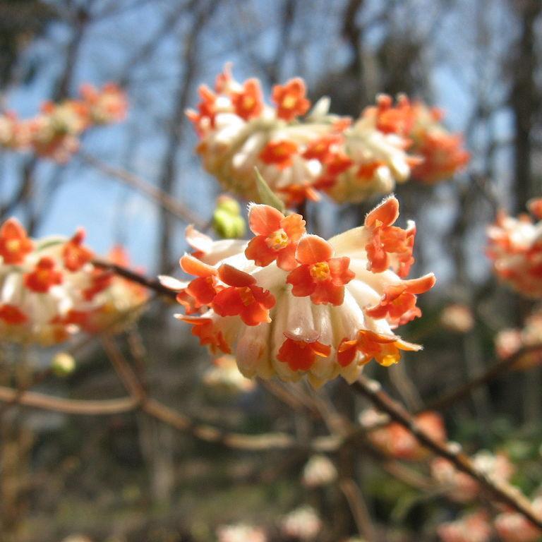 Edgeworthie à fleurs d'or, buisson à papier, daphné à papier (Edgeworthia chrysantha, syn. E. tomentosa, E. papyrifera) 'Akabana'