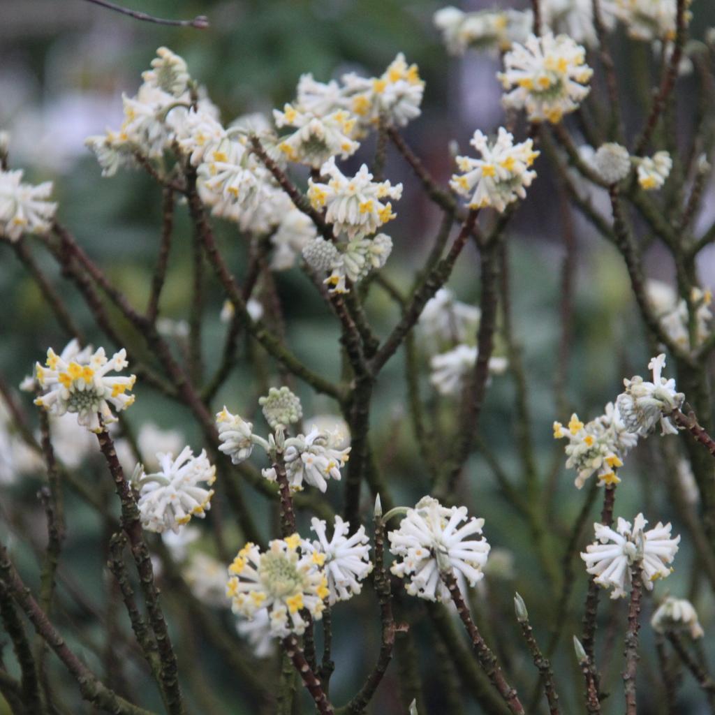 Edgeworthie à fleurs d'or, buisson à papier, daphné à papier (Edgeworthia chrysantha, syn. E. tomentosa, E. papyrifera) 'Snow Cream'