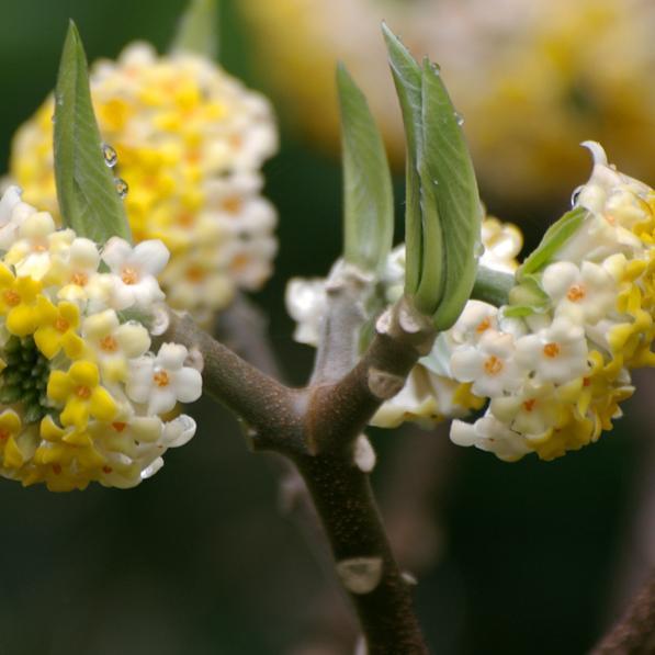 Edgeworthie à fleurs d'or, buisson à papier, daphné à papier (Edgeworthia chrysantha, syn. E. tomentosa, E. papyrifera) Espèce type