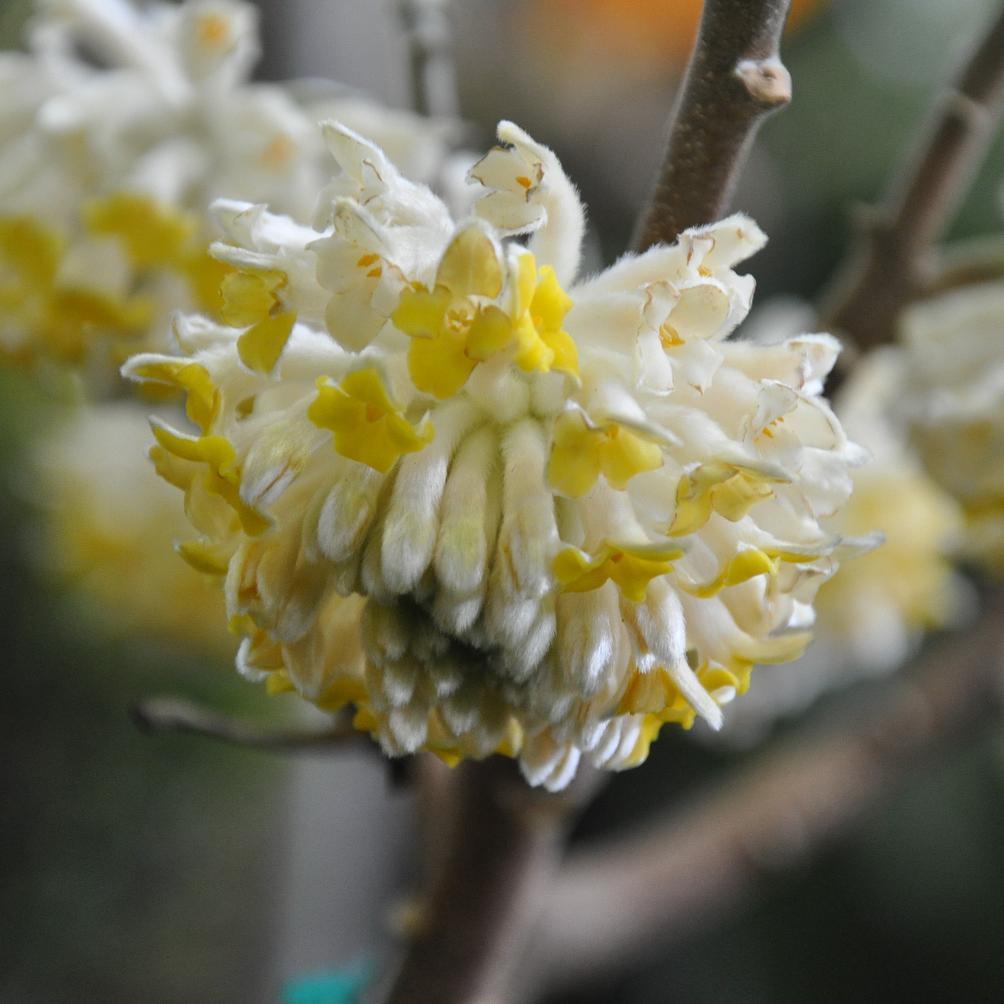 Edgeworthie à fleurs d'or, buisson à papier, daphné à papier (Edgeworthia chrysantha, syn. E. tomentosa, E. papyrifera) 'Grandiflora'