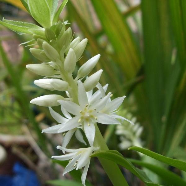 Plante ananas, fleur ananas, eucomide bicolore (Eucomis bicolor) var. alba