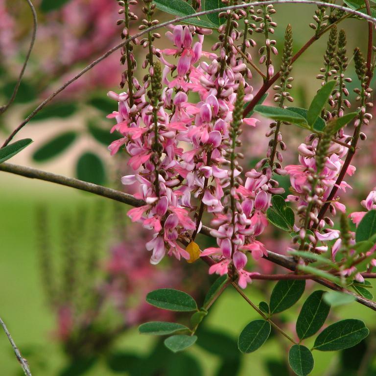 Indigo de Chine, indigo rose (Indigofera amblyantha) Espèce type