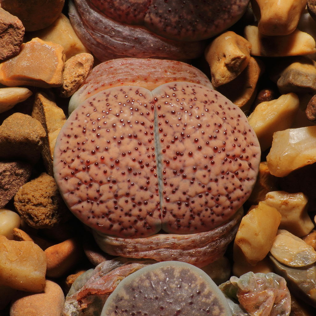 Lithops verruculosa 'Rose of Texas'