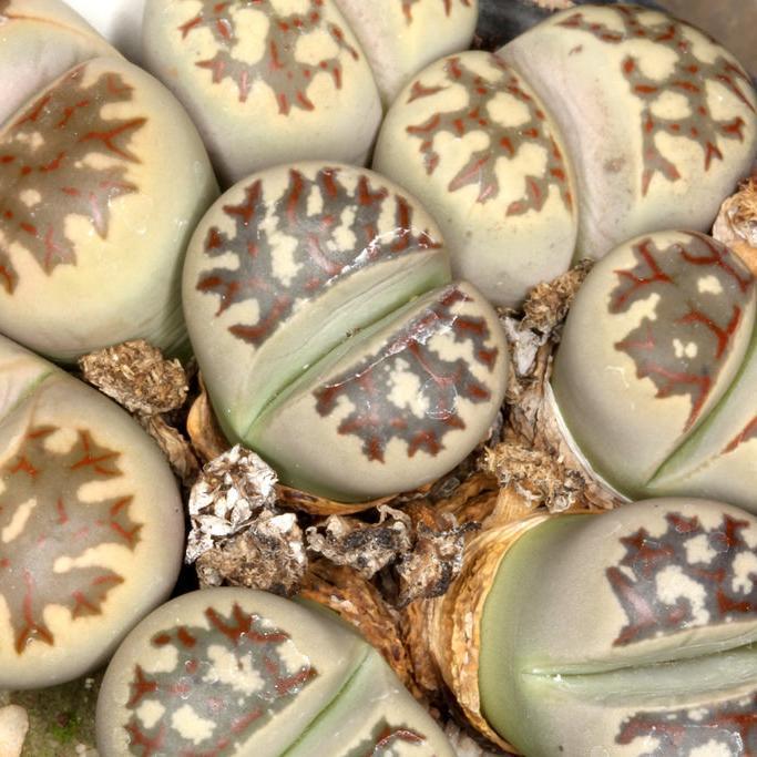 Plante caillou, pierre vivante (Lithops dorotheae)