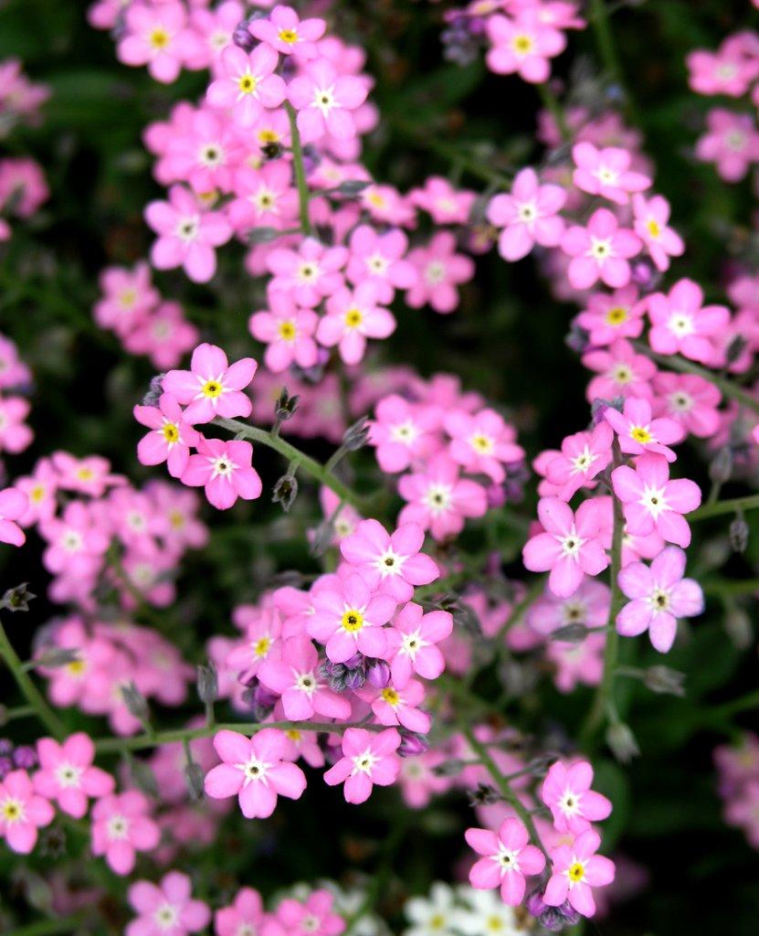Myosotis semer et planter ooreka for Plants de fleurs