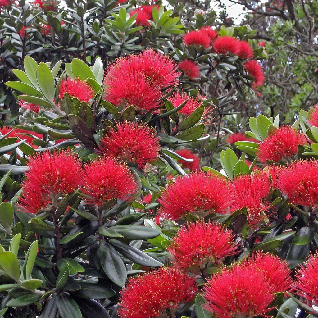 Arbre de Noël de Nouvelle-Zélande, pohutukawa (Metrosideros excelsa, syn. M. tomentosus) Espèce type