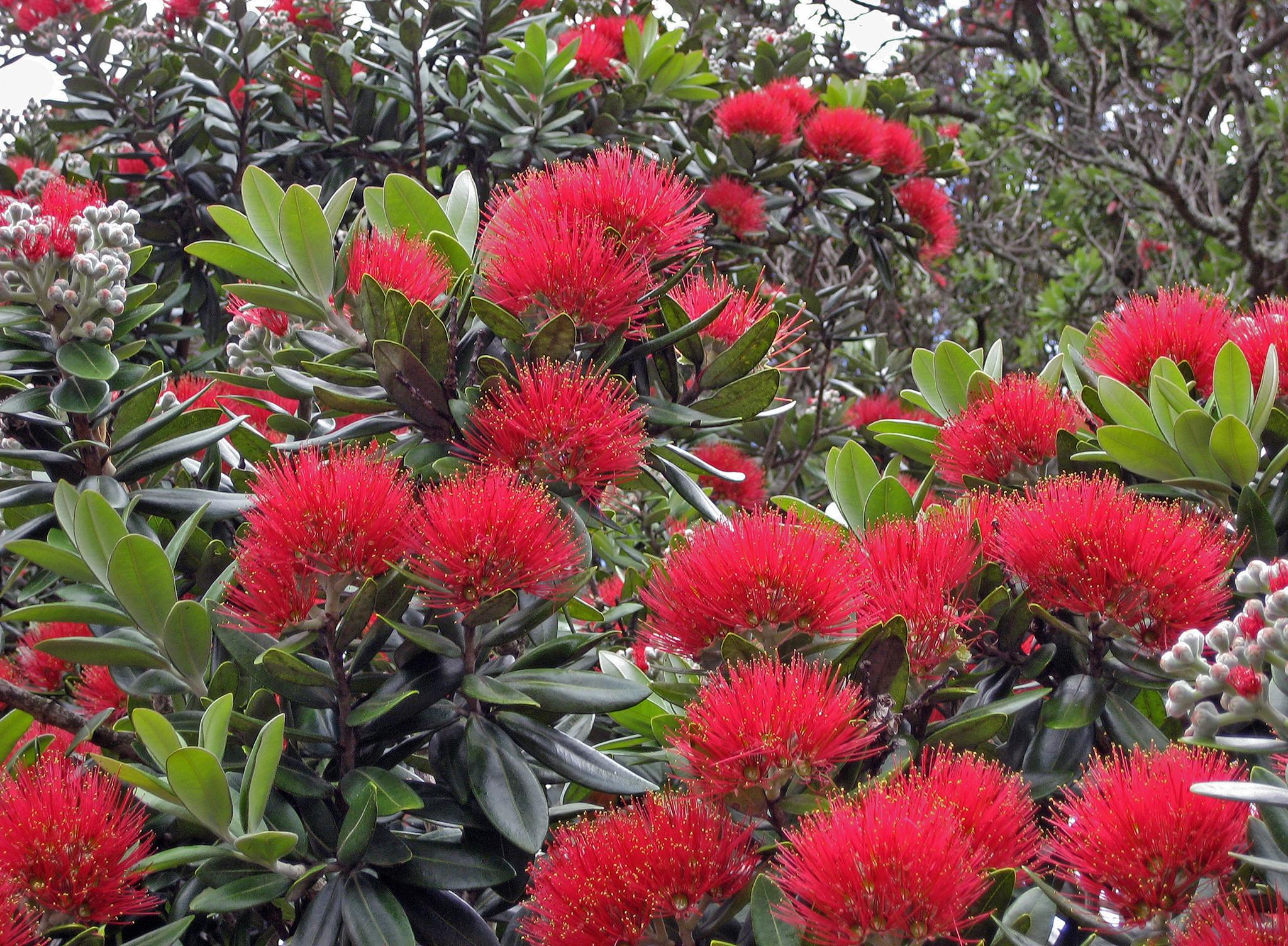 Metrosideros planter et entretenir ooreka for Plante noel rouge