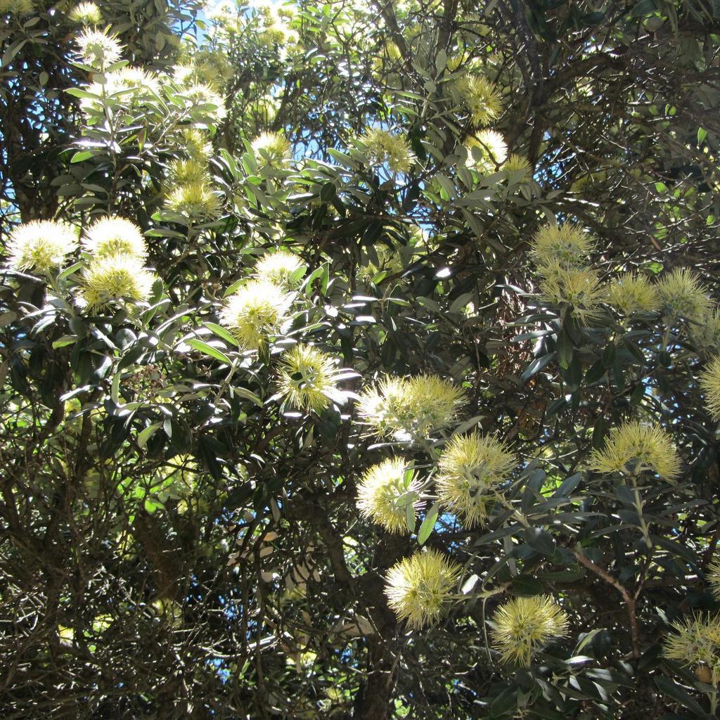 Arbre de Noël de Nouvelle-Zélande, pohutukawa (Metrosideros excelsa, syn. M. tomentosus) 'Aurea'