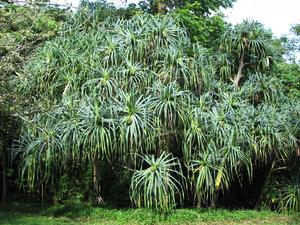 Plantation du <em>Pandanus</em>