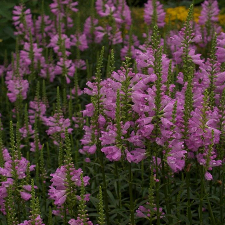 Cataleptique (Physostegia virginiana) 'Summer Snow'