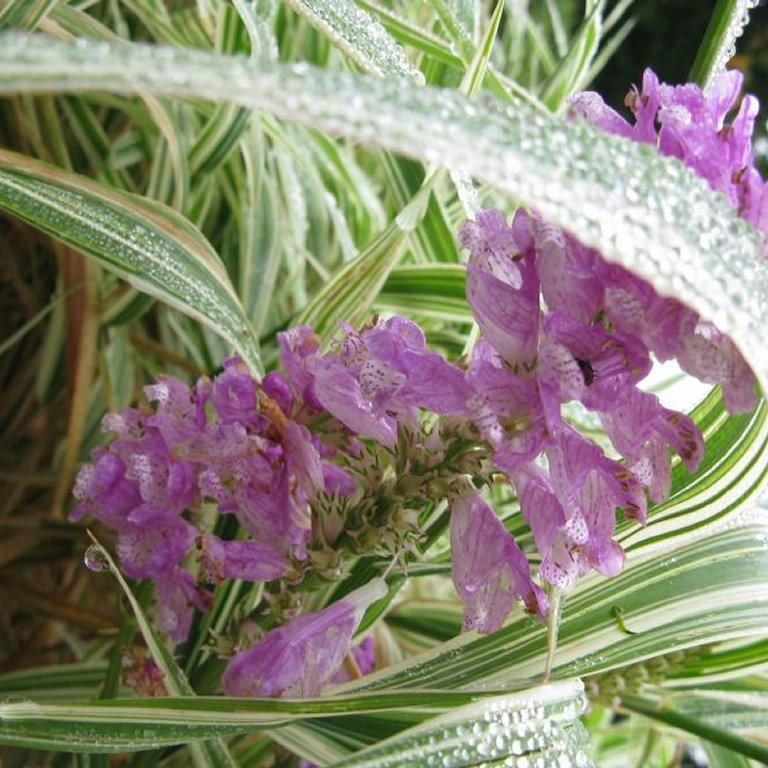 Cataleptique (Physostegia virginiana) 'Variegata'