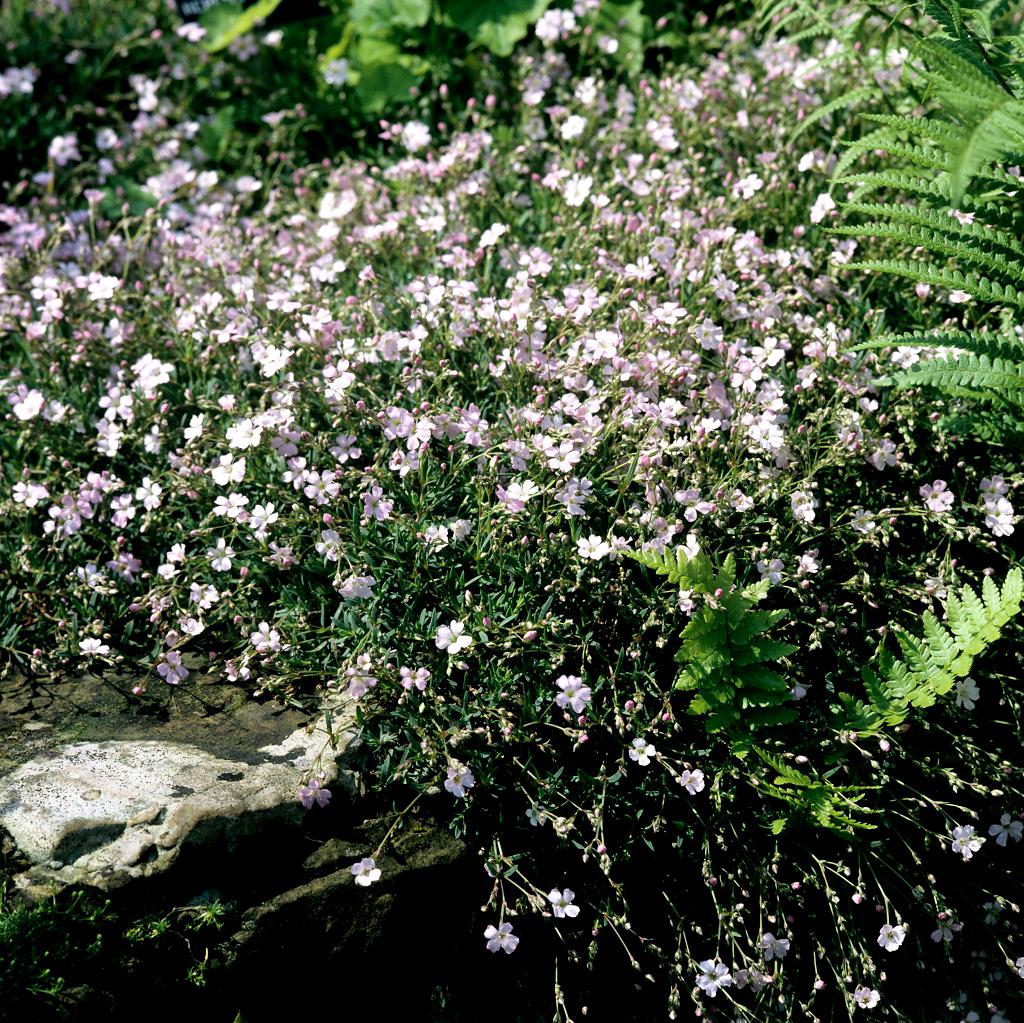 Silène : planter et cultiver - Ooreka