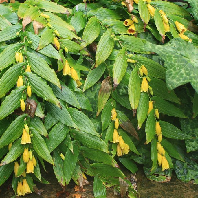 Tricyrtis macranthopsis (syn. T.macrantha subsp. macranthopsis) Espèce type