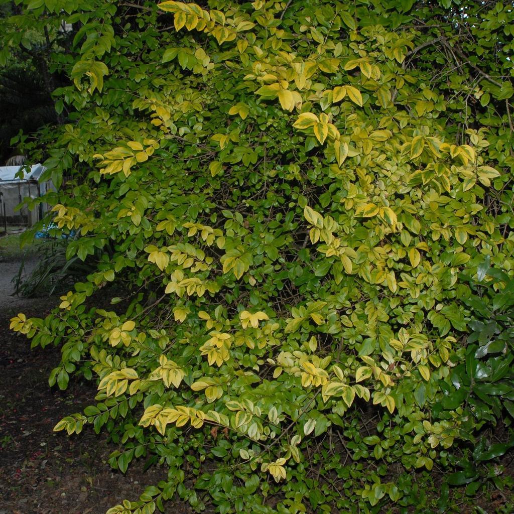 Variétés à feuillage panaché. Troène musli (Ligustrum Ibota 'Musli Muster')