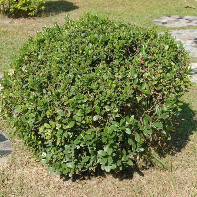 Variétés de taille moyenne Troène commun ou d'Europe (Ligustrum vulgaris 'Atrovirens')
