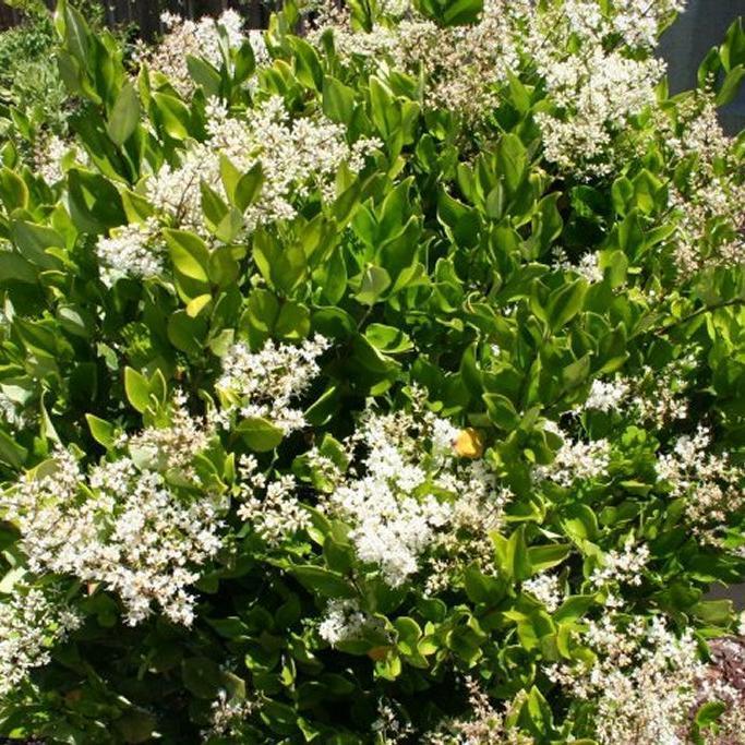 Variétés de grande taille Troène du Texas (Ligustrum texanum)